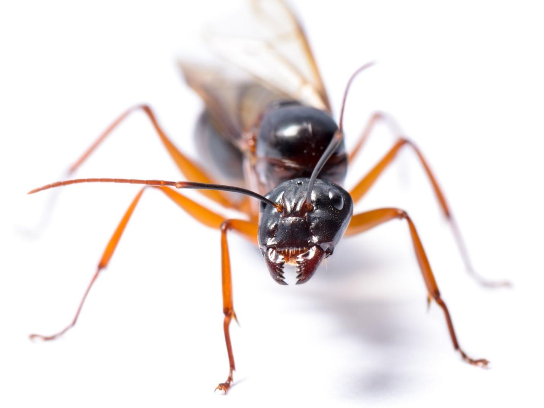 carpenter ant pest control
